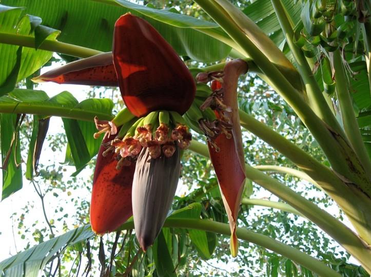 banana_flower