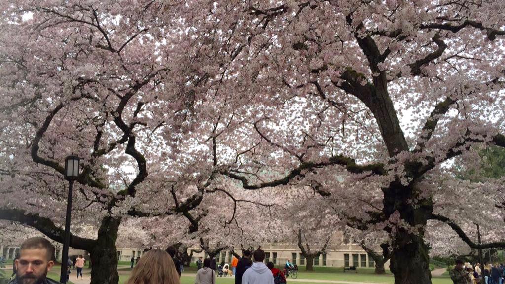 cherry blossom (1)